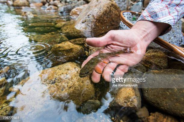 person hand releasing a small wild brook trout in a rocky stream - speckled trout stock photos and pictures