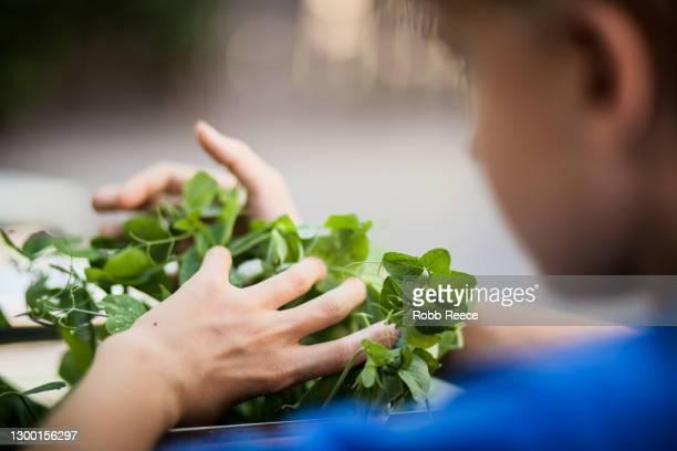 person harvesting crops on an organic farm - robb reece 個照片及圖片檔