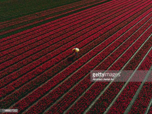 person holding a colourful umbrella at the centre of a tulip field, netherlands - create and cultivate stock pictures, royalty-free photos & images