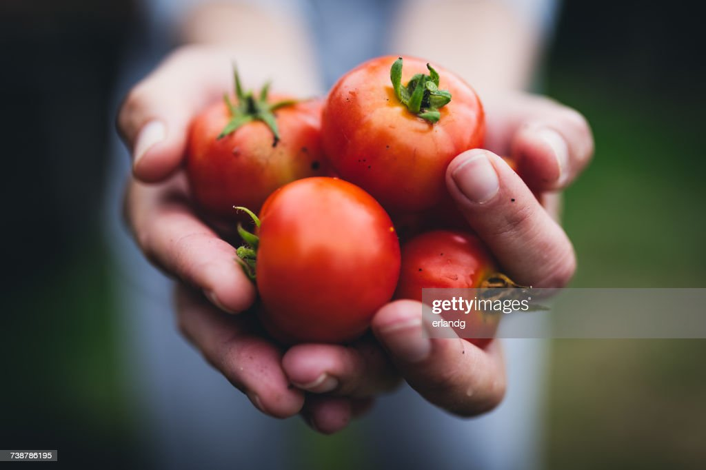 Person holding a handful of tomatoes : Stock Photo