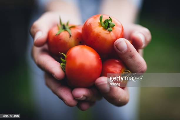 person holding a handful of tomatoes - freshness stockfoto's en -beelden
