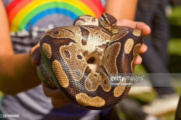 Person holding a Python pet snake. Other keywords: reptile, non-venomous, animal, coiled, wildlife.