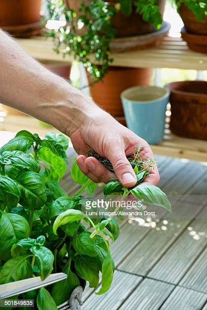 Person Holding Basil In Hand