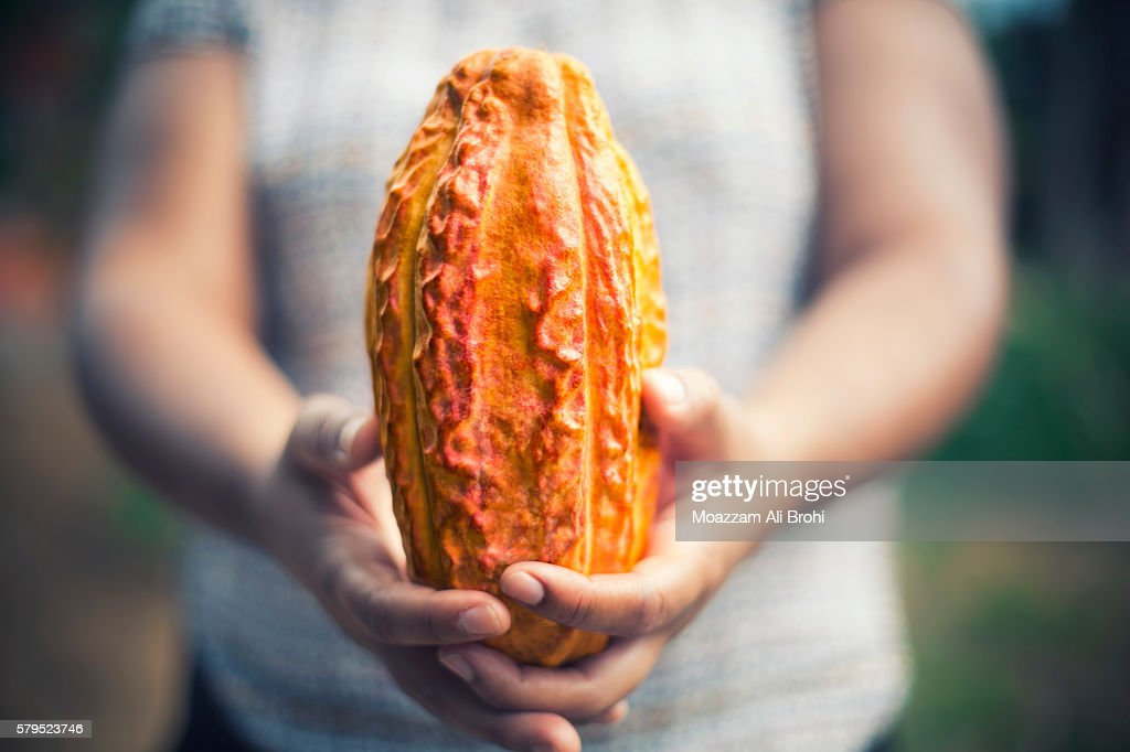 Person holding Cacao bean pod : Stock Photo