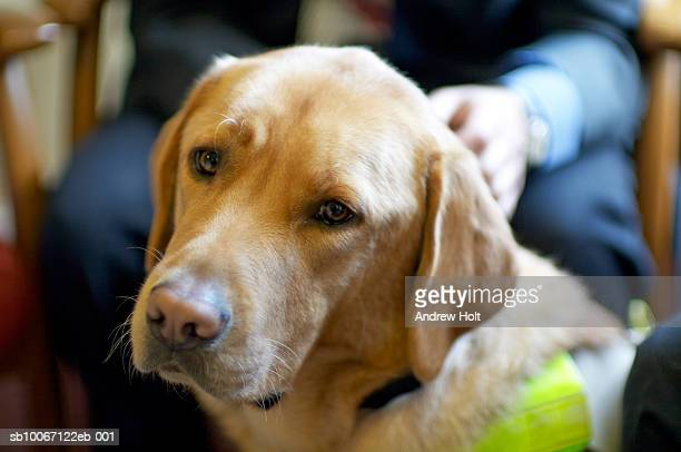 Person holding Golden Labrador guide dog, close up