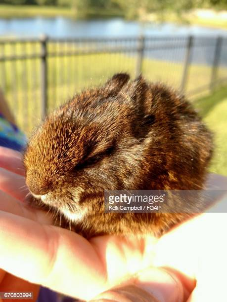 a person holding guinea pig - kelli campbell stock pictures, royalty-free photos & images
