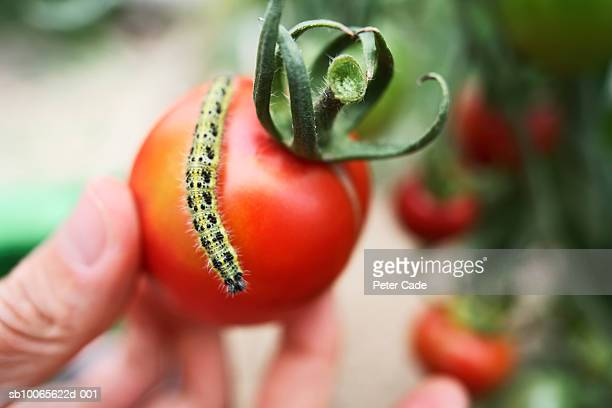 person holding tomato with caterpillar on top, close-up - pest stock photos and pictures