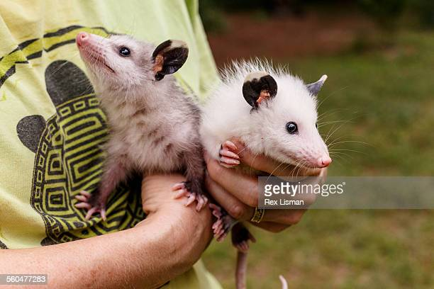 person holding two young orphaned opossums - opossum americano foto e immagini stock