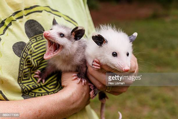 Person holding two young orphaned opossums
