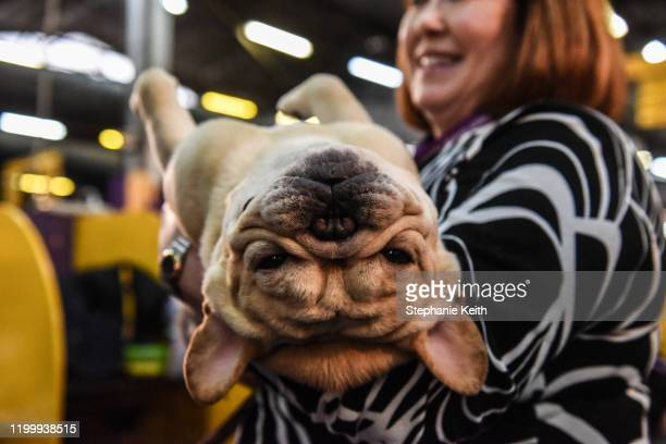 A person holds a French Bulldog during the 144th annual Westminster Kennel Club Dog Show on February 10 2020 in New York City The show brings more...