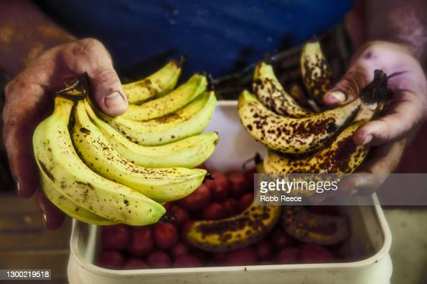 a person holds organic bananas in costa rica - robb reece stock pictures, royalty-free photos & images