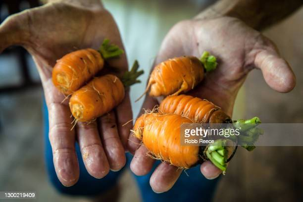 a person holds organic carrots in costa rica - robb reece stock pictures, royalty-free photos & images
