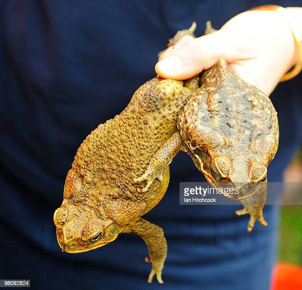 A person holds up a male and female cane toad during the nowannual Toad Day Out 2010 at the Thuringowa Soundshell on March 28 2010 in Townsville...
