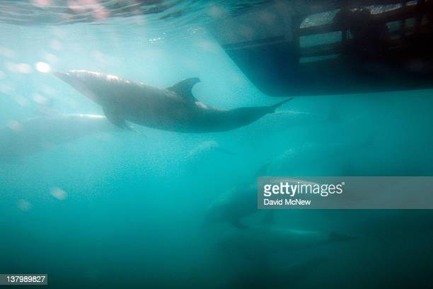 A person inside an underwater viewing pod in the hull of a catamaran watches bottlenose dolphins off the southern California coast on January 30 2012...