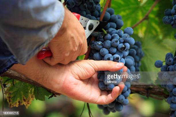 A person picking blue grapes from the vine