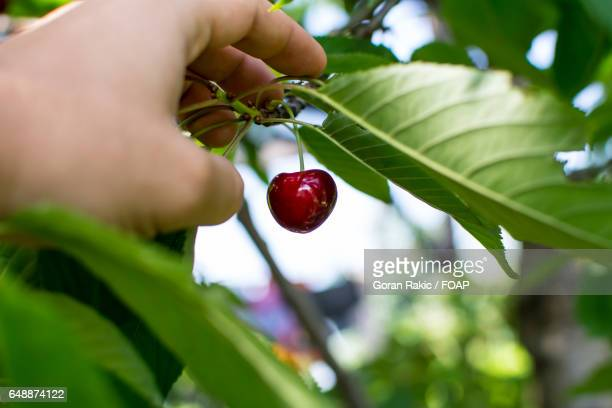 A person picking cherry from tree