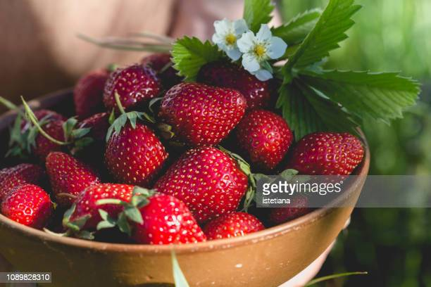 person picking fresh strawberries - strawberry stock pictures, royalty-free photos & images