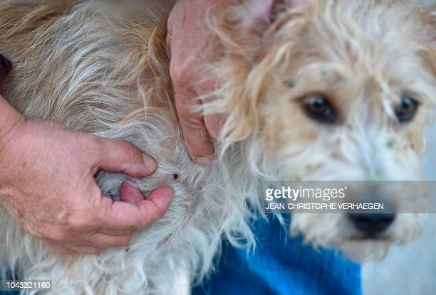 A person removes a tick on a dog in the forest near the laboratory of the INRA which constitutes a tiquothèque to study its geographical distribution...