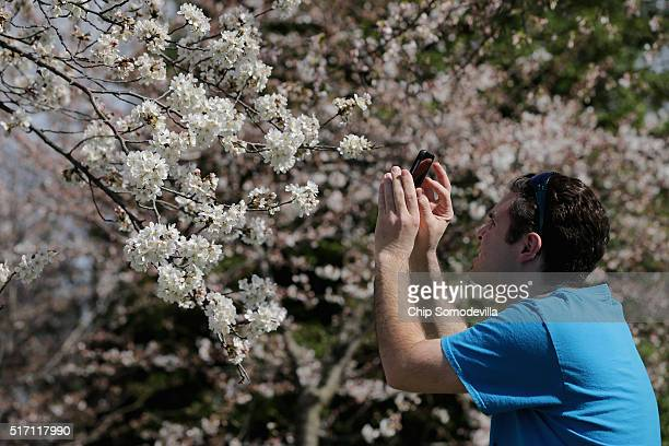 A person stops to photograph the cherry trees that surround the Tidal Basin near the National Mall March 23 2016 in Washington DC The blossoms at the...