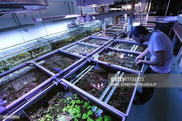 A person takes care of cultured corals at the Coral Biome sea farm on July 28 2015 in Marseille southern France Coral Biome is a marine biologist and...