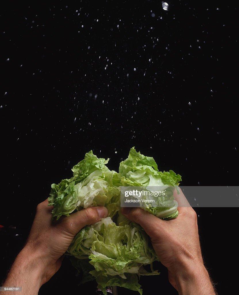 Person tearing iceberg lettuce : Stock Photo