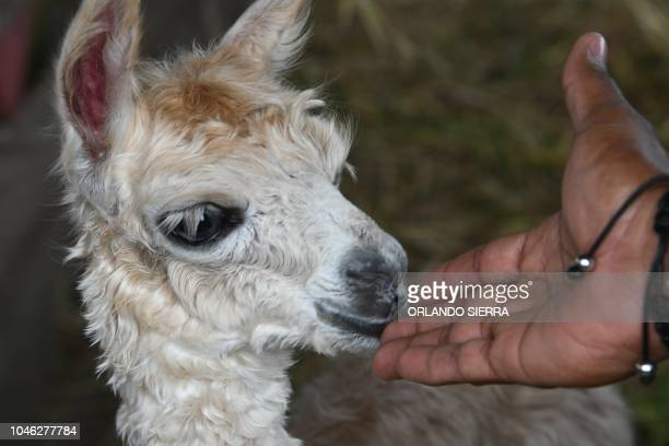 A person touches a newborn llama at the Joya Grande zoo and ecopark in Santa Cruz de Yojoa Cortes department 160 km north of Tegucigalpa Honduras on...