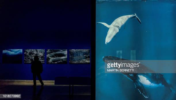 TOPSHOT A person visits the 'Whales voices of the sea of Chile' exhibition at the La Moneda Cultural Centre Museum in Santiago on August 14 2018 The...