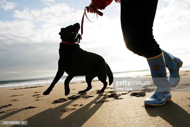 Person walking black Labrador at beach