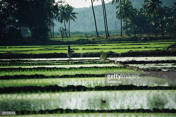 person working in rice paddies - goa stock photos and pictures