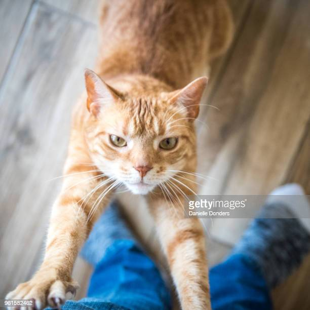 Personal perspective looking down at cat stretching against human legs