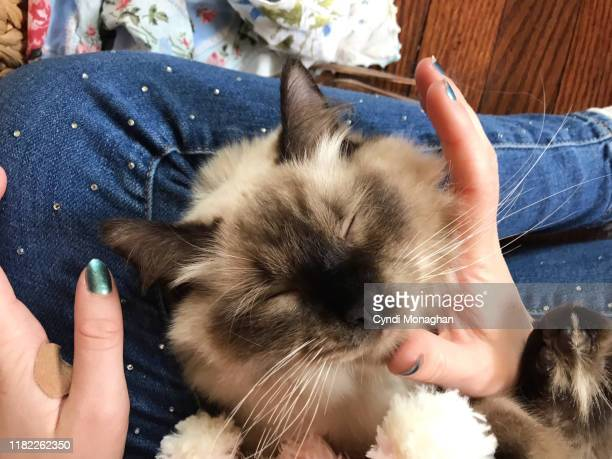 personal perspective of a girl petting a ragdoll cat - ragdoll cat stock pictures, royalty-free photos & images
