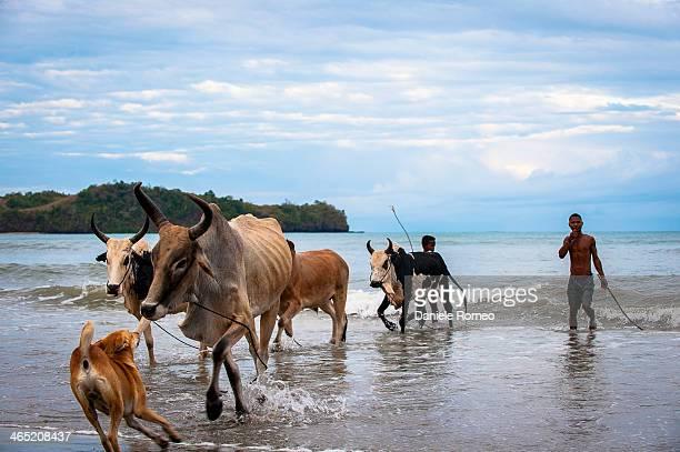 Persone, bambini, adulti, africa, Animali, Zebu, Zebù, Composizione orizzontale, Ambientazione esterna, Madagascar, Nosy Bé, Sea, Beach, Animale,...