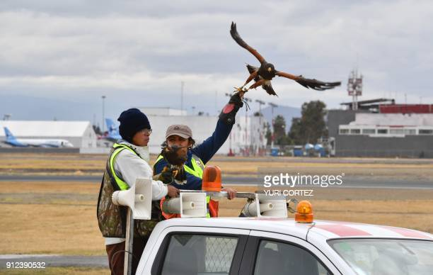 Personnel of the Fumigation and Avian Control company release a Harris's hawk for it to patrol the runways and air space over Mexico City's Benito...
