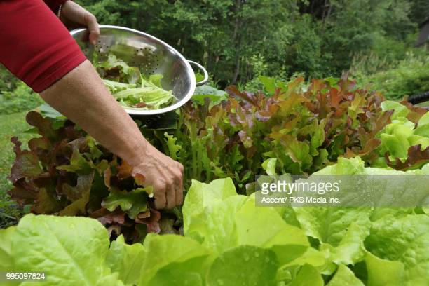 person's arm picks fresh lettuce for salad, from garden - leaf lettuce stock pictures, royalty-free photos & images