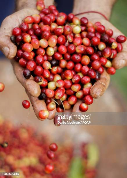 Person's hand with freshly picked coffee cherries
