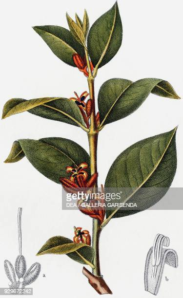 Persoonia ferruginosa open flower with pistil b calyx with stamens drawing by Turpin engraving by Stanghi from Dizionario delle scienze naturali...