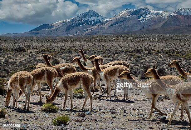 Peru, Arequipa, Colca Canyon, Mountain landscape with wild vicunas