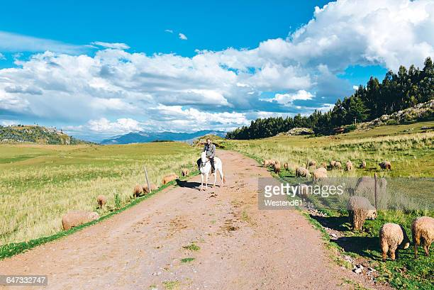 Peru, Cusco, man riding horse on dirt road surrounded by sheeps