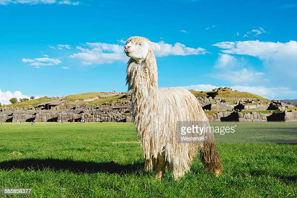 Peru, Cusco, white alpaca in front of Saksaywaman citadel
