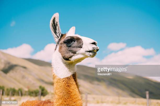 peru, huaraz, portrait of a llama - tame stock pictures, royalty-free photos & images