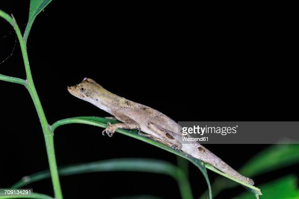 peru, manu national park, blue-lipped forest anole on leaf - anole lizard stock pictures, royalty-free photos & images