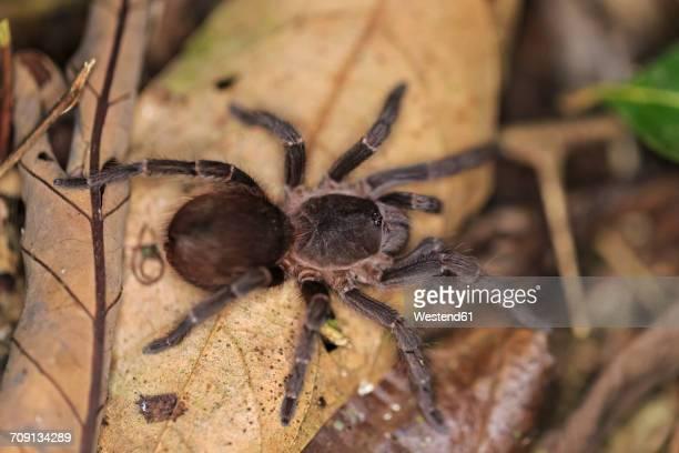 Peru, Manu National Park, Peruvian tarantula