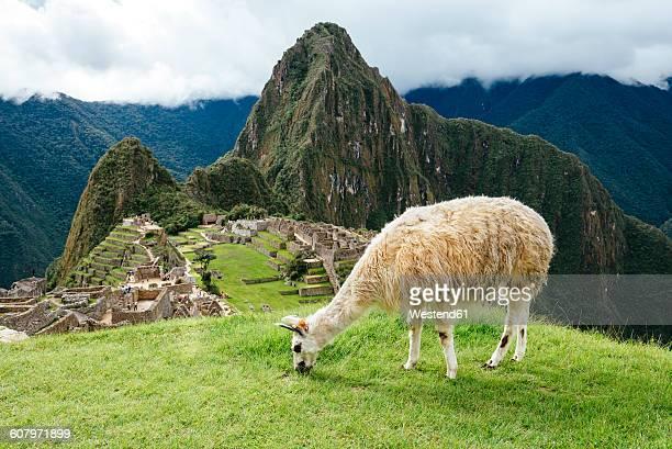 Peru, white llama eating grass with Machu Picchu citadel and Huayna Picchu mountain