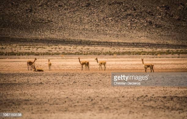 peru-arequipa-salinas y aguada blanca-colcacanyon - llama animal fotografías e imágenes de stock