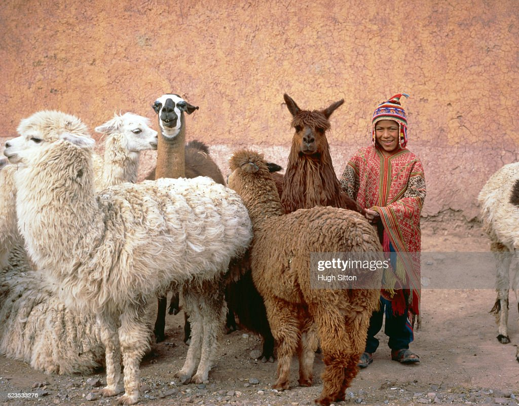 A peruvian boy between a herd lamas, Peru : Stock Photo