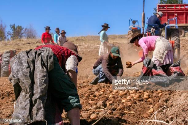 Peruvian farmers harvesting potatoes