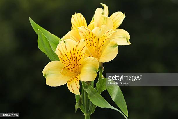 peruvian lilies - alstroemeria stock pictures, royalty-free photos & images