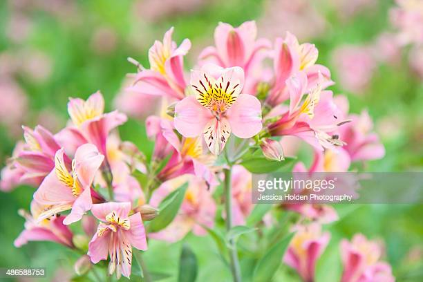 peruvian lilies/alstroemeria - alstroemeria stock pictures, royalty-free photos & images
