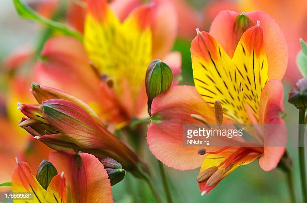 peruvian lily, alstroemeria cultivar, flowers - alstroemeria stock pictures, royalty-free photos & images