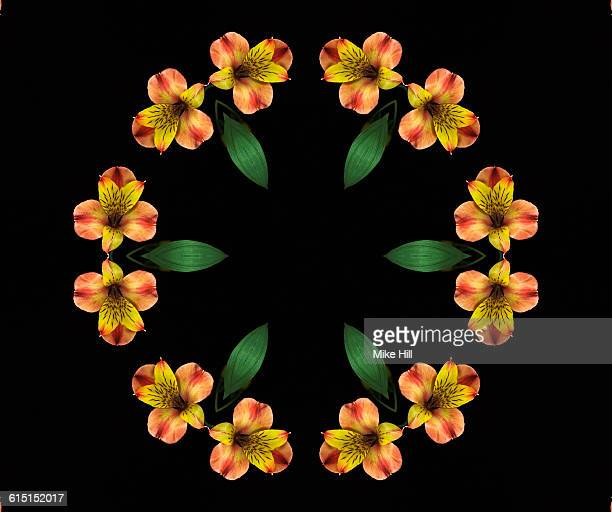 peruvian lily, alstroemeria mandala - alstroemeria stock pictures, royalty-free photos & images